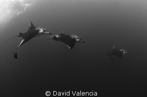 Giant Pacific mantas chasing one another during a courtsh... by David Valencia 